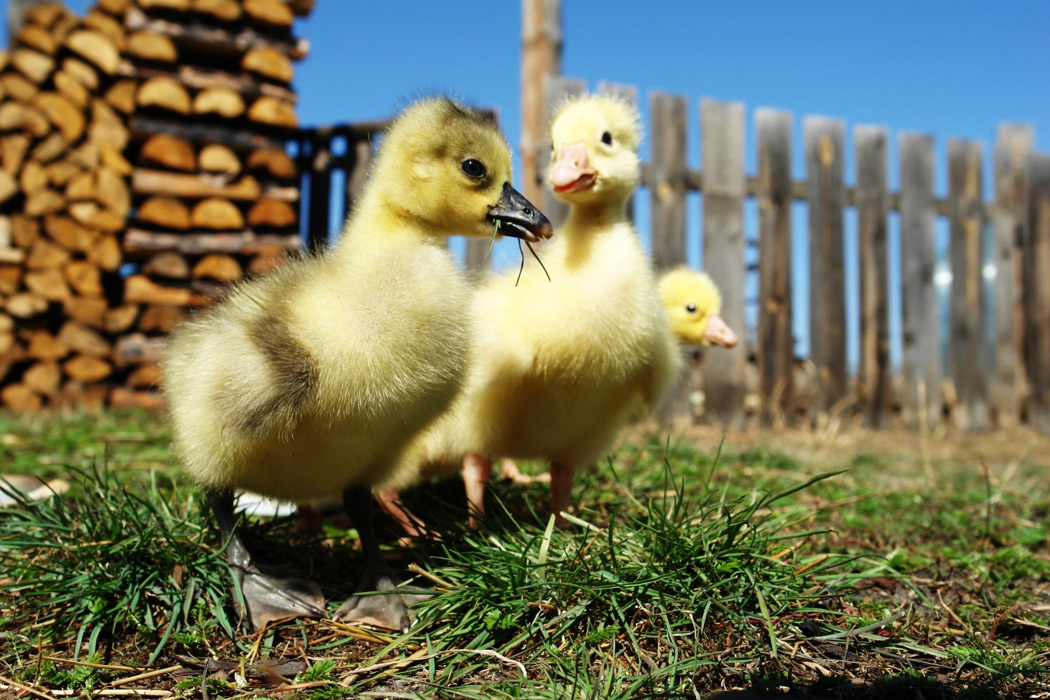 Утята и цыплята картинка