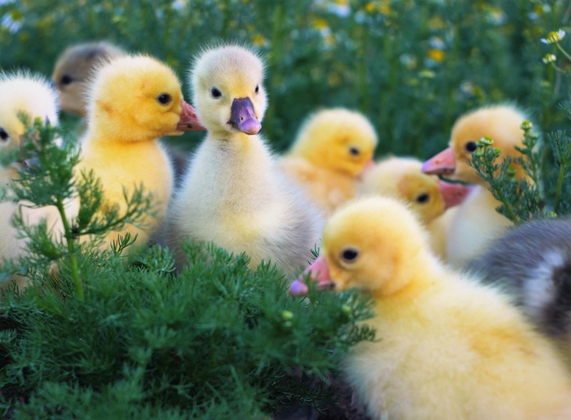 Содержание, выращивание и разведение гусей